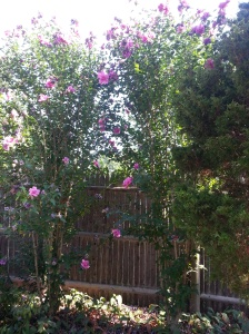 Rose of Sharon trees