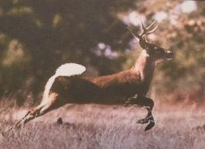 Male Buck