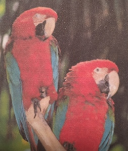 red & blue macaws