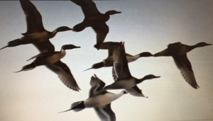 flock of pintails in flight