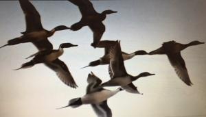 flock of pintails in flight
