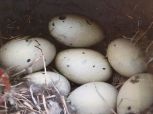 Eggs of Northern Pintail duck